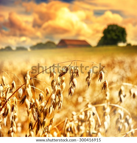 Closeup of golden oat ears. Agricultural concept  - stock photo