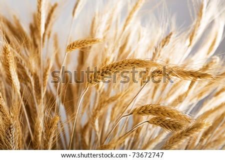 Closeup of golden wheat - stock photo