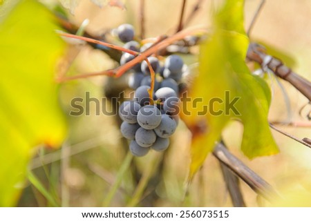 closeup of grape berries at vinery - stock photo