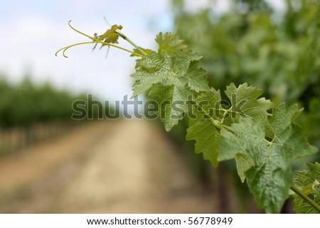 Closeup of grape vine leaves in Napa Valley - stock photo