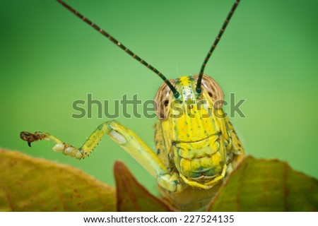 closeup of grasshopper's head with one leg up - stock photo
