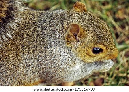 Closeup of gray squirrel: A gray squirrel chomping on acorn at Urbana, Illinois Squirrel / Animal / Wildlife Background - stock photo