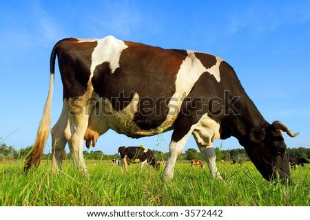 Closeup of grazing dairy cow - in sunset light. Shot in Ukraine. - stock photo
