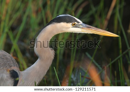 Closeup of Great Blue Heron (Ardea herodias) stalking its prey - Everglades National Park, Florida - stock photo