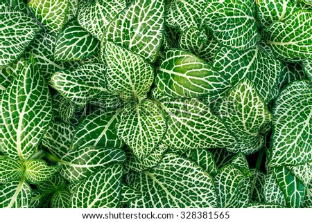 Closeup of green and white fittonia (nerve plant or mosaic plant) plants. - stock photo