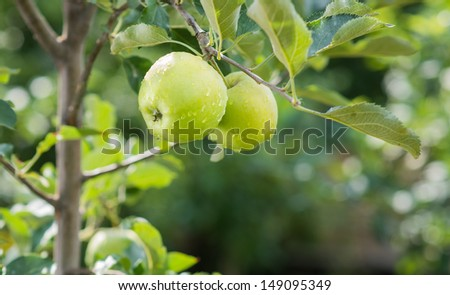 Closeup of green apples on a branch in an orchard - stock photo