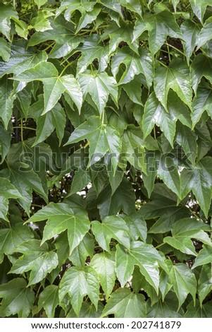 closeup of green boston ivy. - stock photo