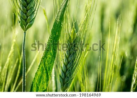 Closeup of green ears of corn in a field - stock photo
