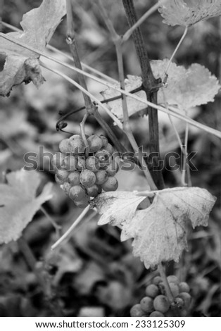 Closeup of green grapes at vineyard at sunset. Autumn in Loire Valley (Val de Loire, France) Selective focus on the grapes. Aged photo. Black and white. - stock photo