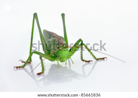 Closeup of green grasshopper on white