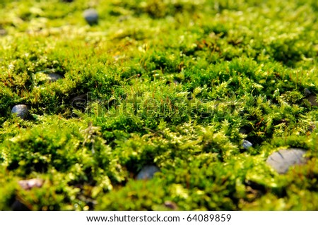 Closeup of green moss in autumn light - stock photo