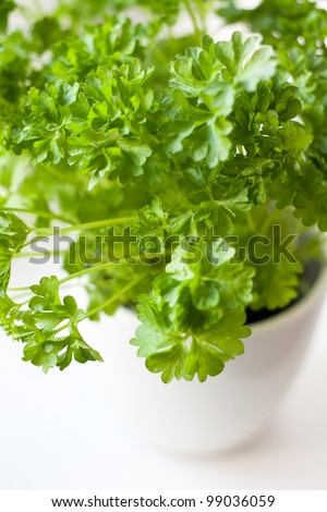 Closeup of green parsley (Petroselinum hortense) in a pot on a kitchen window