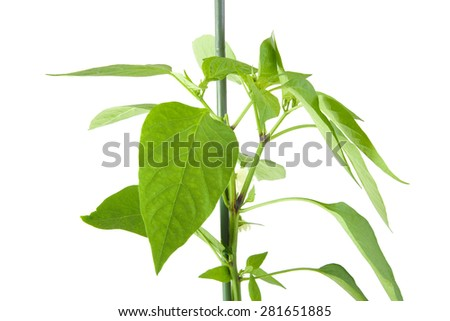 CLoseup of green pepper plant leavess isolated on white background