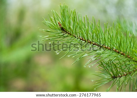 Closeup of green pine tree  branches after rain in forest - stock photo