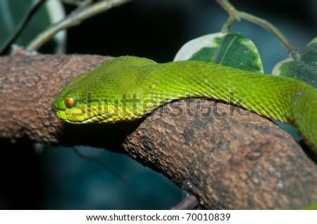 Closeup of green snake, Thailand. - stock photo