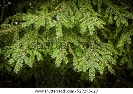 closeup of green spruce branch
