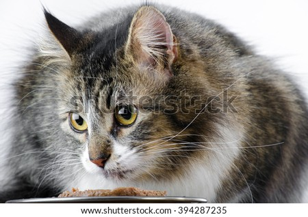 Closeup of Grey and White Tabby Cat Eating - stock photo