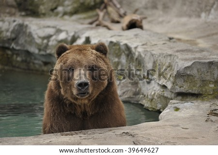 closeup of Grizzly bear sitting in pool of water - stock photo