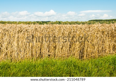 Closeup of growing Common Wheat or Triticum aestivum plants almost ready for harvesting. - stock photo