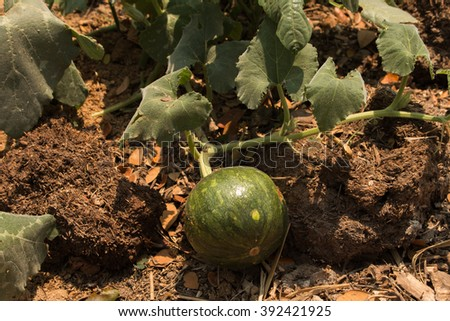 Closeup of growing watermelon fruit among leaves on farmland - stock photo