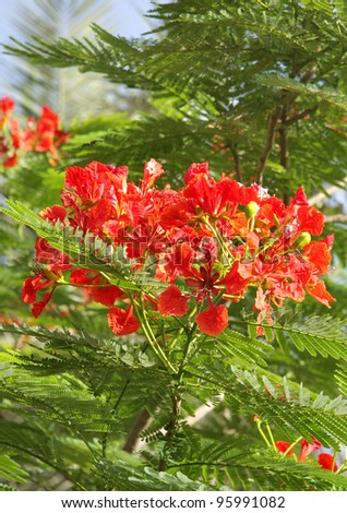 Closeup of Gulmohar flowers - stock photo