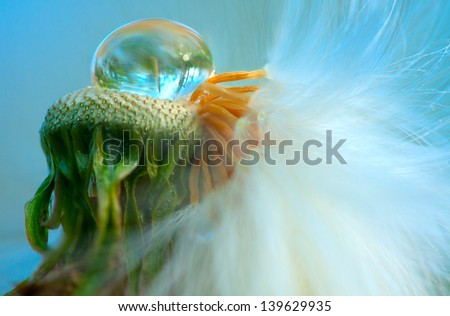 closeup of half empty dandelion head with water drop - stock photo