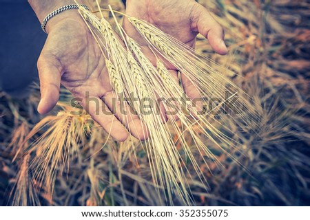 Closeup of Hands from male farmer with barlay, vintage effect