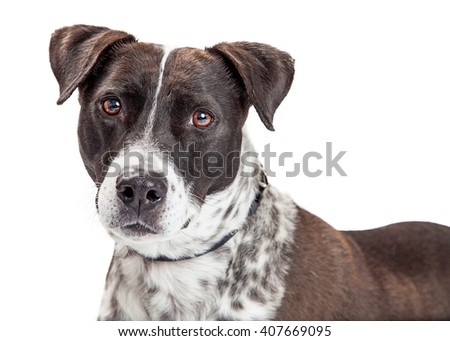 Closeup of handsome black and white mixed large breed dog. Isolated on white. - stock photo