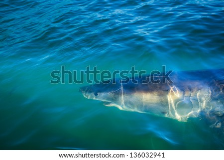 Closeup of head and open mouth of great white shark circling diver's cage in ocean water off coast of South Africa - stock photo