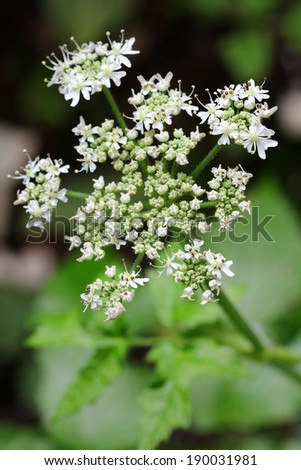 Closeup of home grown Caraway plant with white flowers showing pollens during summer in Europe - stock photo
