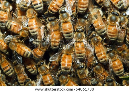 Closeup of honeybees swarming on the queen. - stock photo