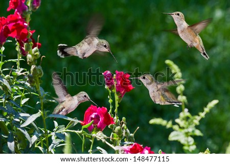 closeup of humming birds flying and feeding on red snap dragons with a green out of focus background - stock photo