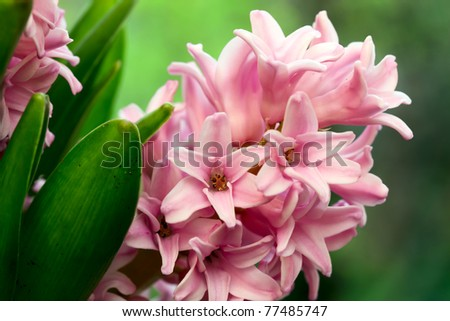 Closeup of hyacinth's flowers in spring. - stock photo