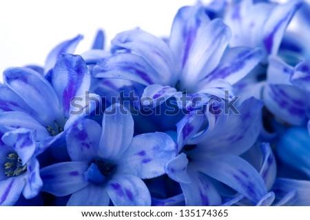 Closeup of hyacinths blue flowers - stock photo