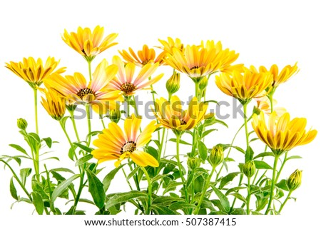 Closeup of isolated yellow Osteospermum flower blossoms