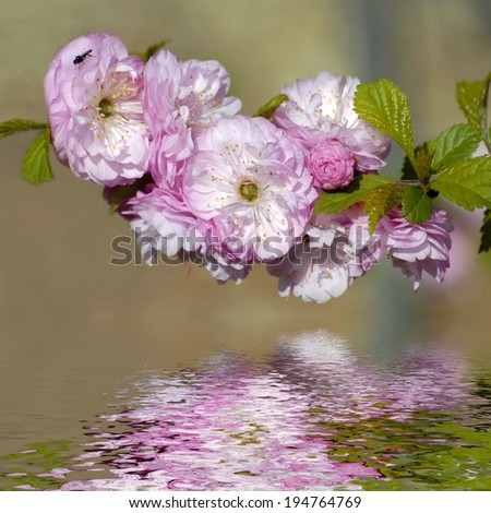 Closeup of Japanese Blossom Decorative Cherry (Prunus) above the water with reflection, digital effect - stock photo