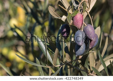 closeup of Kalamata olives on olive tree branch - stock photo