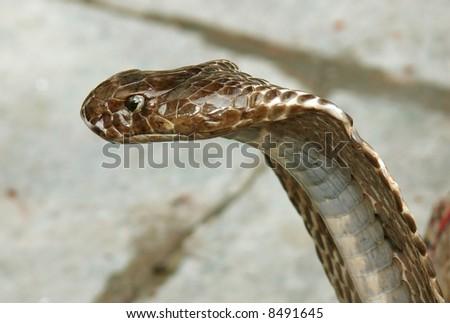 closeup of king cobra, rishikesh, india - stock photo
