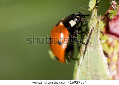 Closeup of lady bug preying on aphid - stock photo