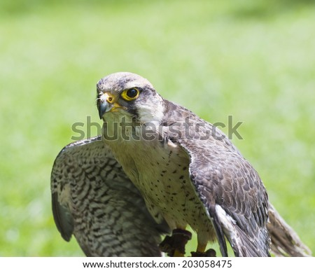 Closeup of lanner falcon falco biarmicus in captivity with wings open