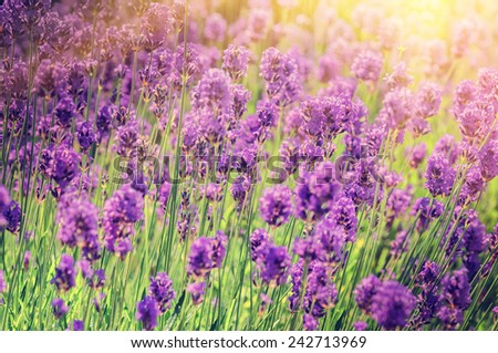 Closeup of lavender field at sunny summer day  - stock photo