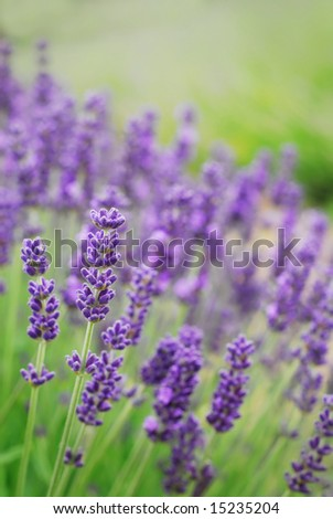 Closeup of lavender flowers - stock photo