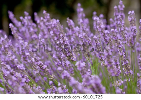 closeup of lavender flowers in nature
