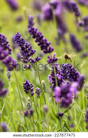 Closeup of lavender flowers with European honey bee (Apis mellifera) - stock photo