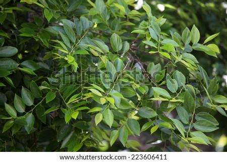 closeup of leaves and branches on chinese elm tree - stock photo