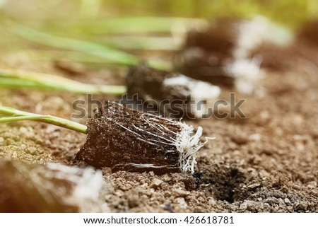 Closeup of leek seedlings lying on freshly ploughed garden bed, prepared for planting in the morning sun. Organic gardening, healthy food, agriculture nutrition and diet concept. - stock photo