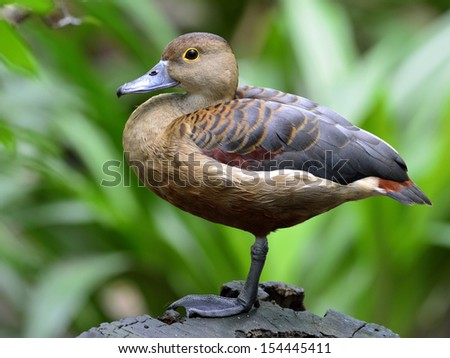 Closeup of Lesser Whistling Duck (Dendrocygna javanica) standing with one leg - stock photo