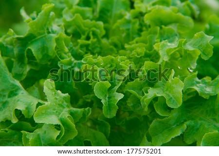 Closeup of lettuce - stock photo
