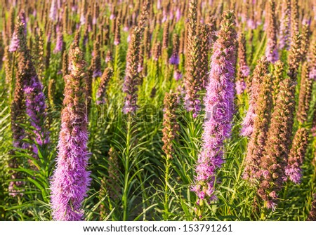 Closeup of lilac blooming and overblown Dense Blazing Star or Liatris spicata plants in a garden plants nursery. - stock photo