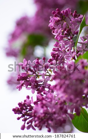 Closeup of lilac flowers on the bush in the spring garden